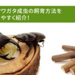 オオクワガタ成虫の飼育方法を分かりやすく紹介!
