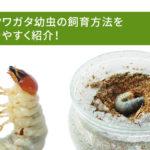オオクワガタ幼虫の飼育方法を分かりやすく紹介!