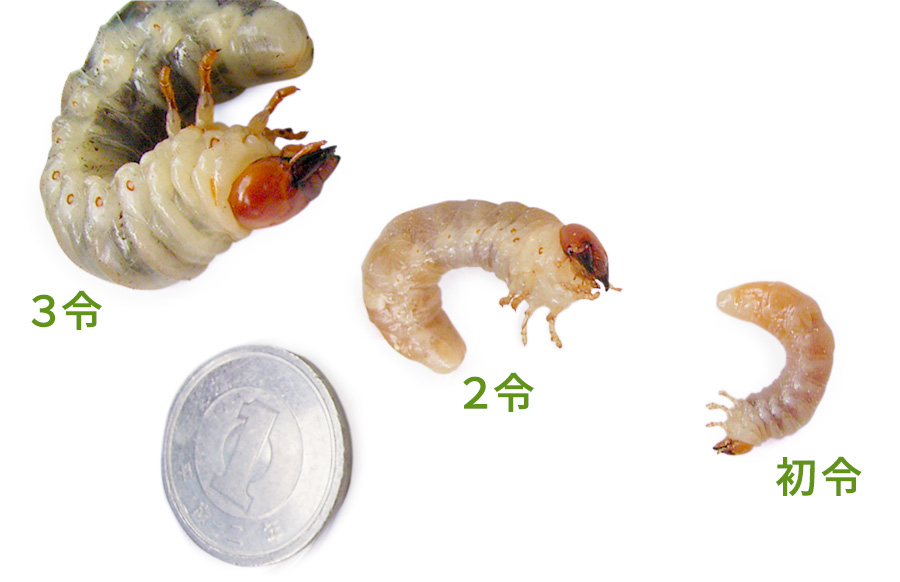 オオクワガタ幼虫の飼育方法 初令 2令 3令