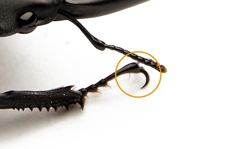 オオクワガタ購入時のチェックポイント 爪の欠損・麻痺