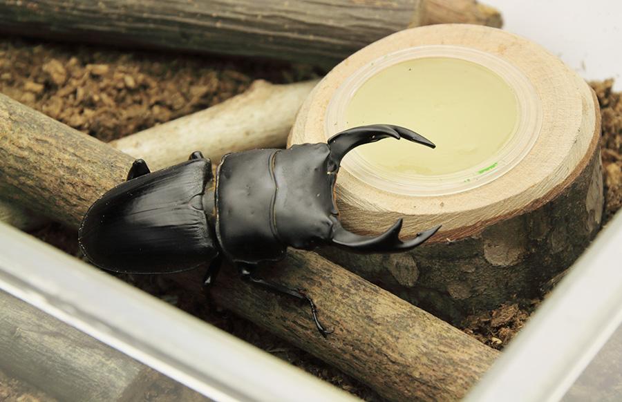 オオクワガタの冬眠(越冬)方法 成虫を入れる