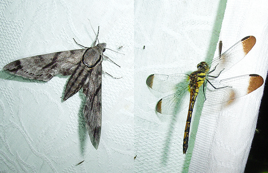 オオクワガタの採集 蛾とトンボ