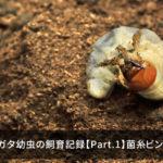 オオクワガタ幼虫の飼育記録【Part.1】菌糸ビンへの投入