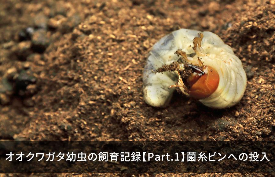 ビン オオクワガタ 菌糸 オオクワガタの菌糸ビンに青カビが!原因と対処法はどうすればいい?
