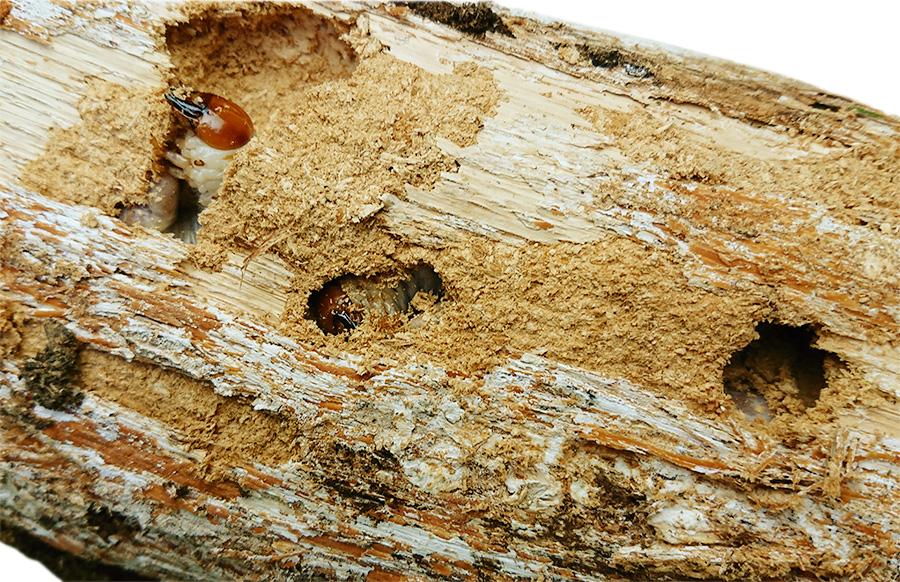 オオクワガタの割り出し 産卵木