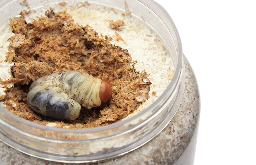 オオクワガタ幼虫の飼育記録 幼虫を穴に入れる