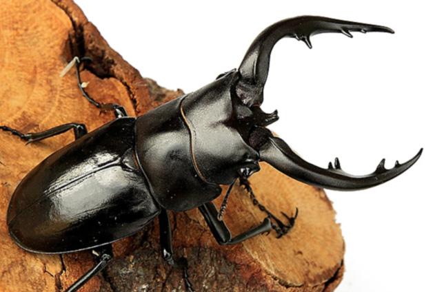 アマミノコギリクワガタ 幼虫