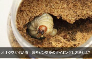 オオクワガタ幼虫 菌糸ビン交換のタイミングと方法とは?