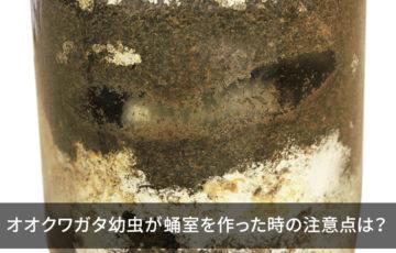 オオクワガタ幼虫が蛹室を作った時の注意点は?