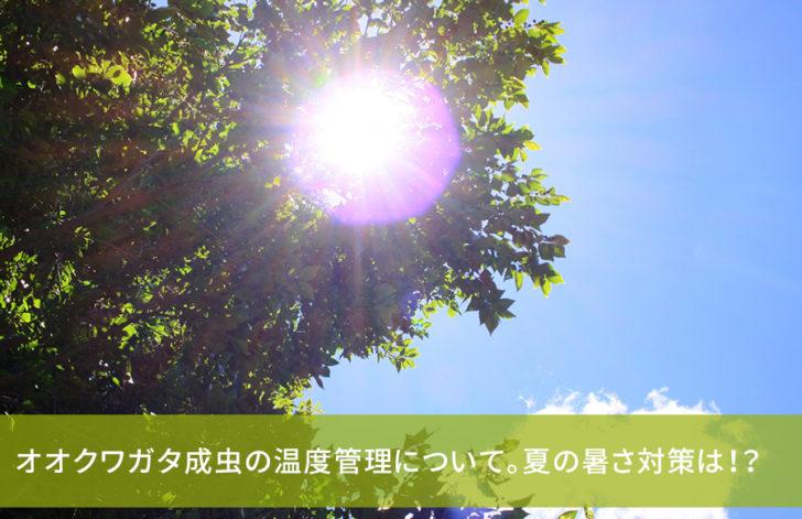 オオクワガタ成虫の温度管理について。夏の暑さ対策は!?
