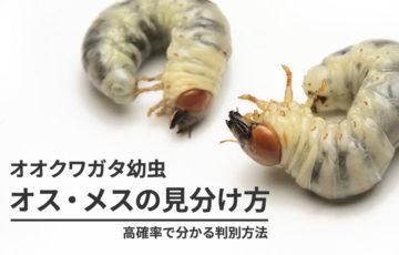 オオクワガタ幼虫のオス・メス(性別)の見分け方【高確率に確認する方法】