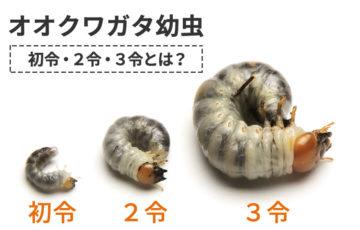 オオクワガタ幼虫 初令・2令・3令とは?見分け方や成長期間について