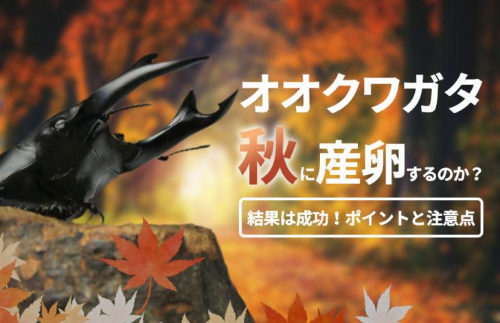 オオクワガタは秋【9月下旬】に常温で産卵するのか?結果は成功!23頭産まれました。