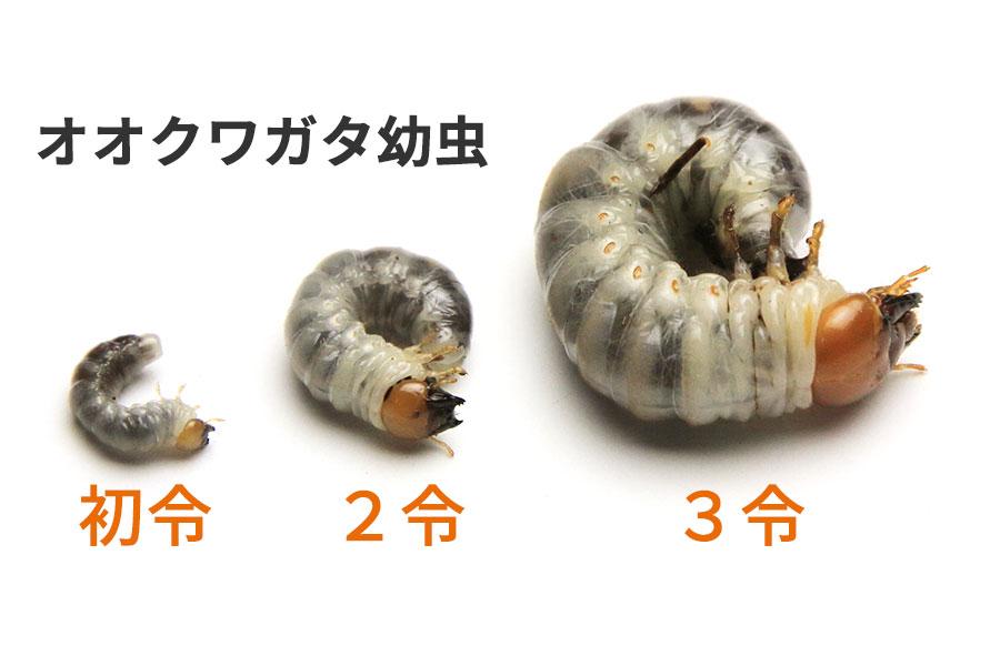 オオクワガタ幼虫 加令 比較画像