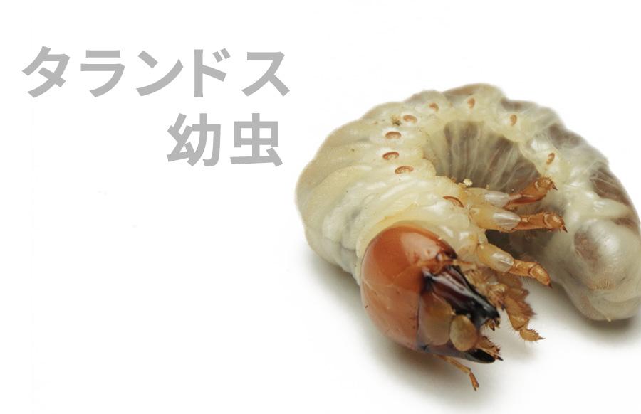 タランドス幼虫