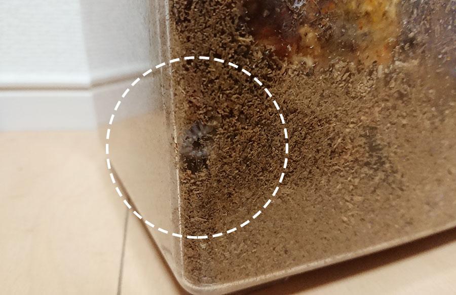 ケース側面と底に幼虫が確認できました!