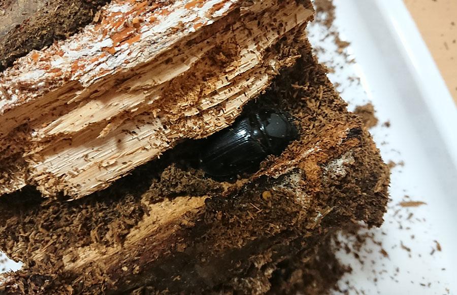 産卵木の中に隠れるメス