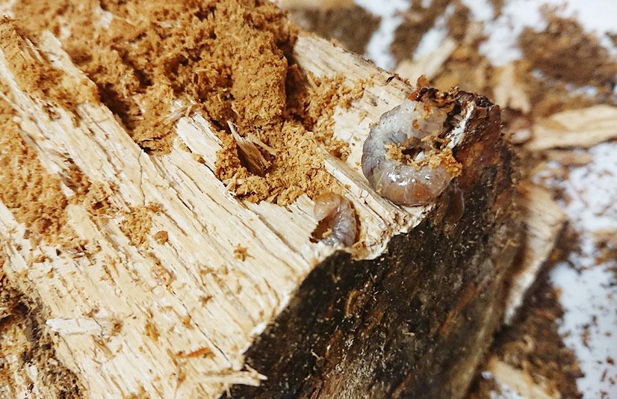 産卵木の中の幼虫
