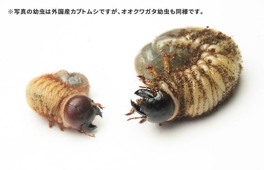 3令初期と3令後期の幼虫