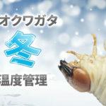オオクワガタ幼虫【冬】の温度管理について[冬眠はするの?]
