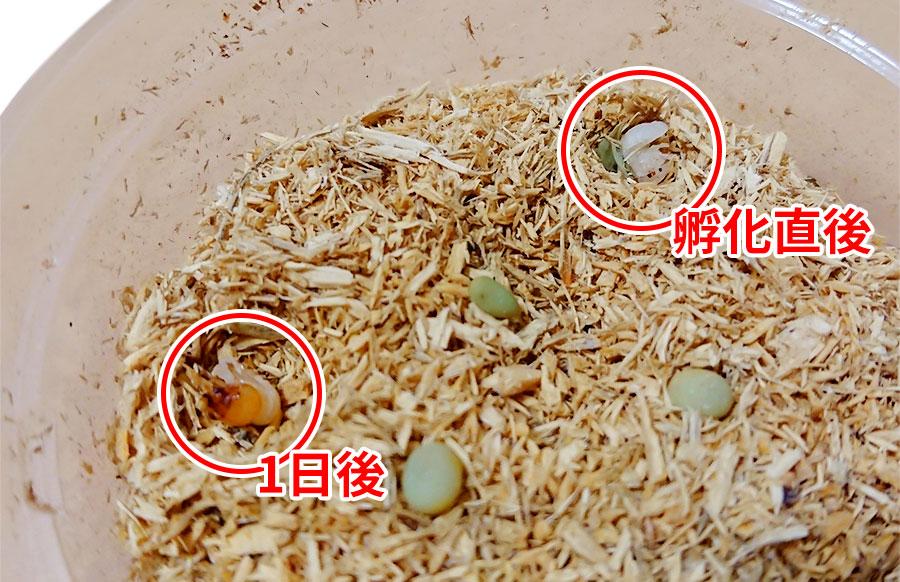 タランドゥス幼虫孵化から1日後