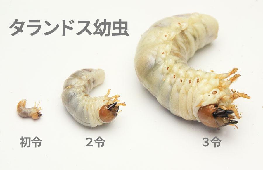 初令・2令・3令 タランドゥス幼虫