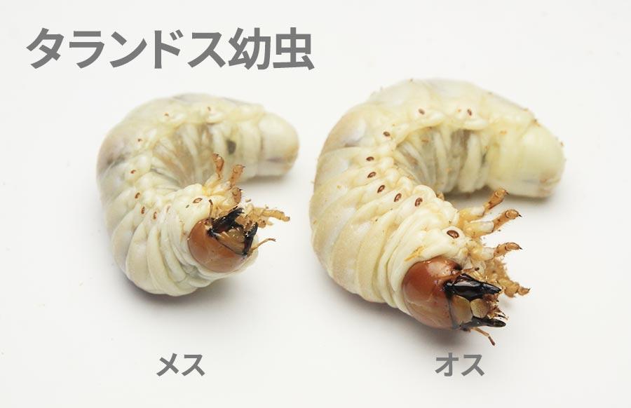 タランドゥス幼虫のオス・メスの見分け方