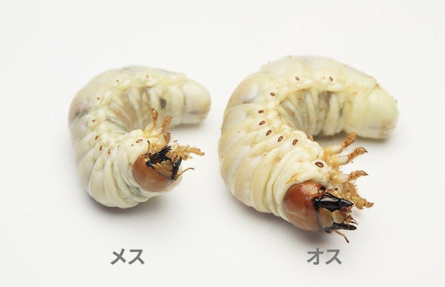 タランドゥス幼虫のオスとメス