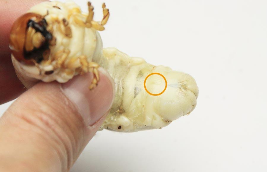 タランドゥス幼虫のオスのお腹の縦線