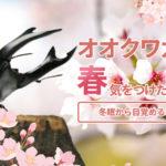 オオクワガタ飼育、春(3月~4月)に気をつけたいこと。