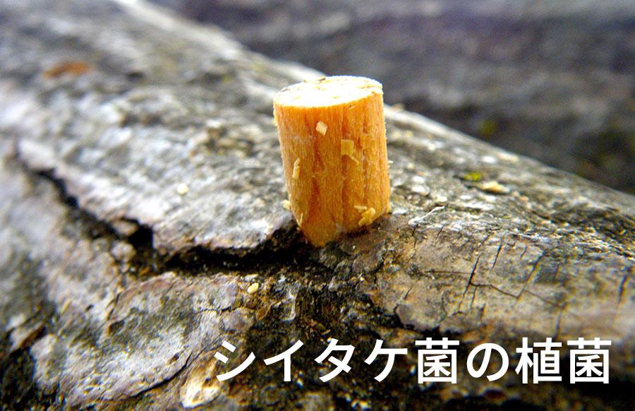 シイタケ菌の植菌